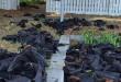 Plus de 5000 cadavres de chauve-souris jonchent le sol de Casino en Australie | Photo : reunion.la1ere.fr