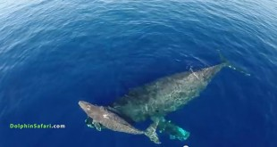 Une baleine grise et son petit