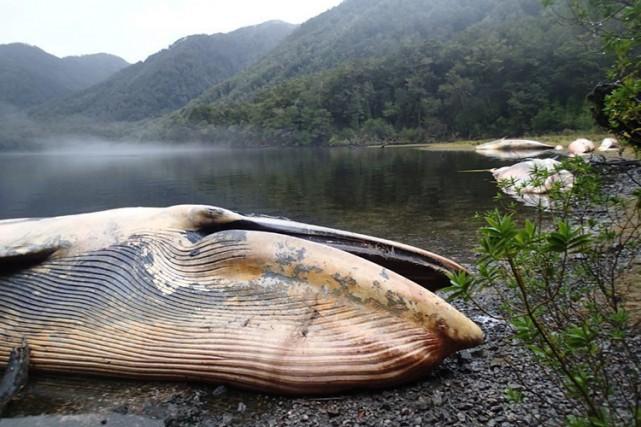 Une vingtaine de baleine Sei retrouvées mortes au chili