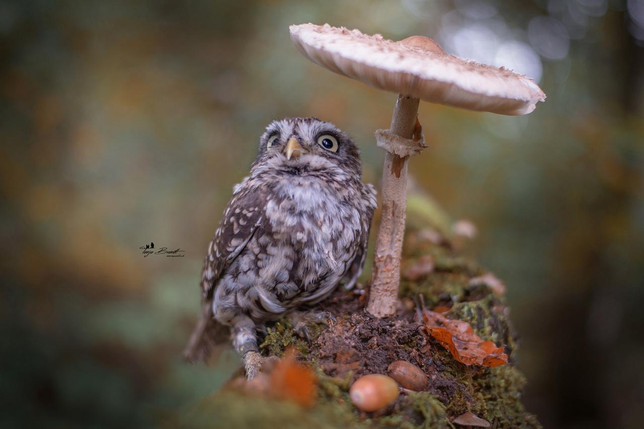 chouette-abri-champignon
