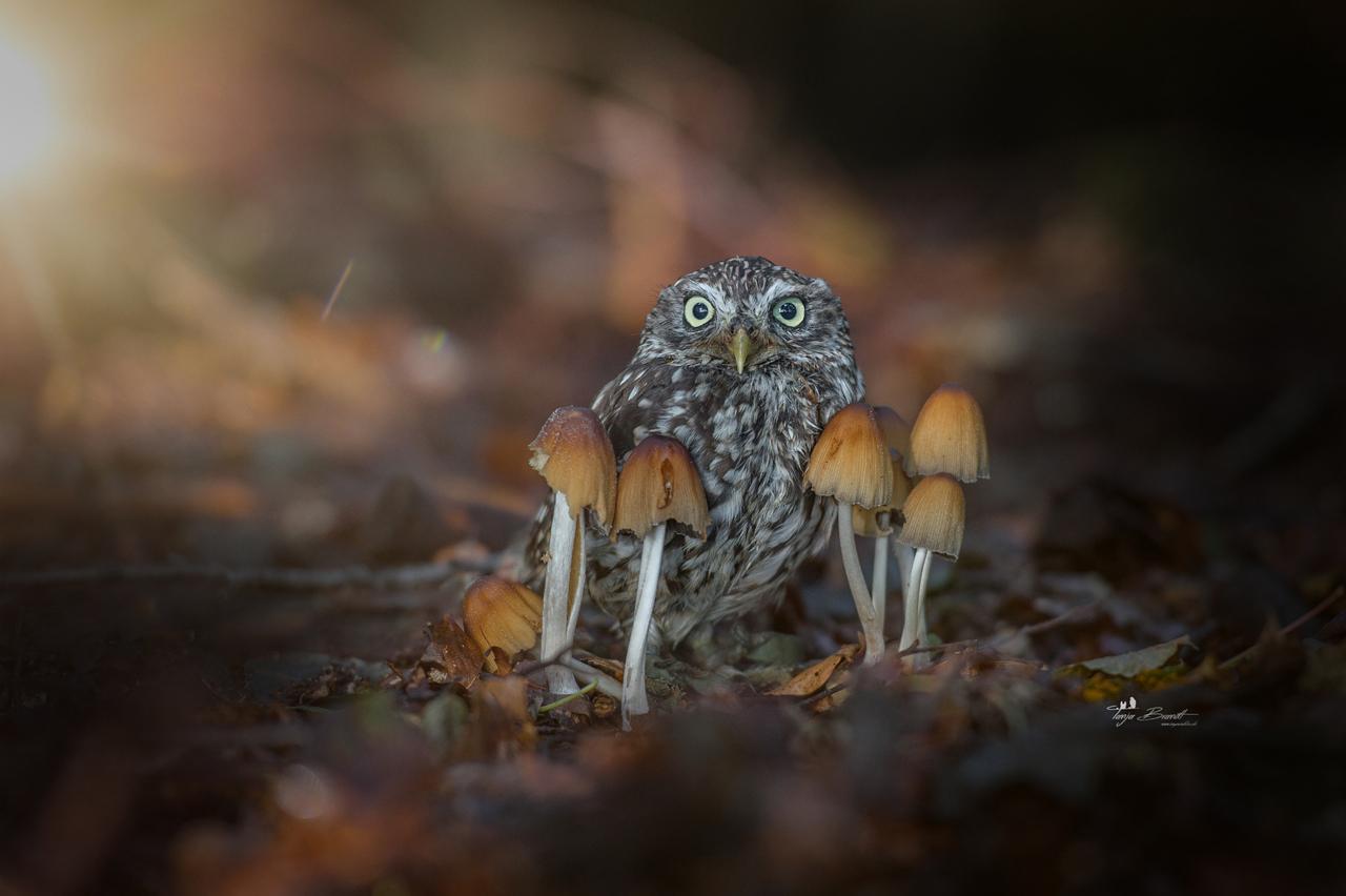 chouette-champignons