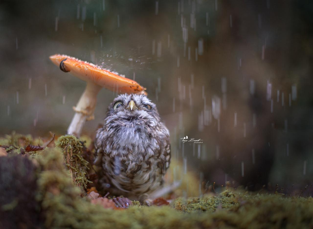 chouette-sous-la-pluie