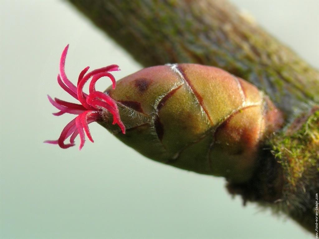 fleur-femelle-noisetier