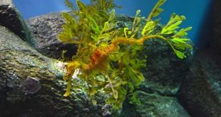 hippocampe-feuillu