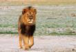 Le Lion cecil retrouvé mort