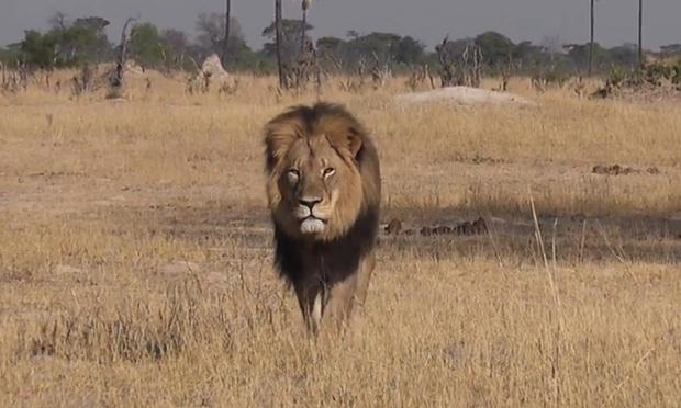 lion-parc-zimbabwe-mort