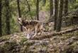 Calendrier vidéo Nature365 - loup