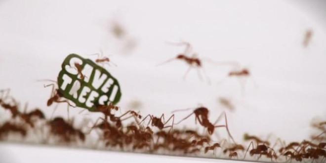 manifestation-fourmis-amazonie