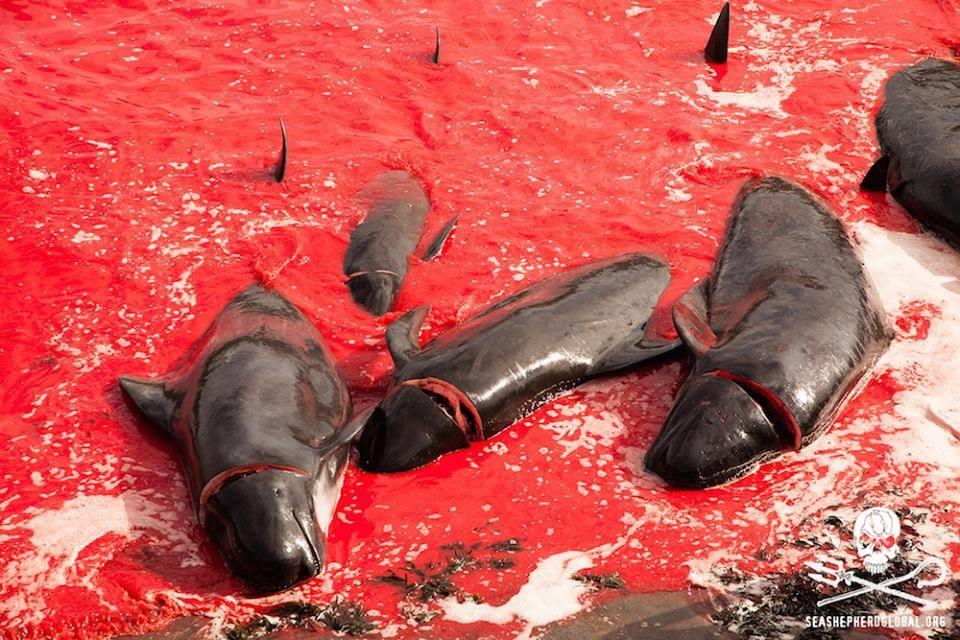 Massacre de dauphins aux Feroes