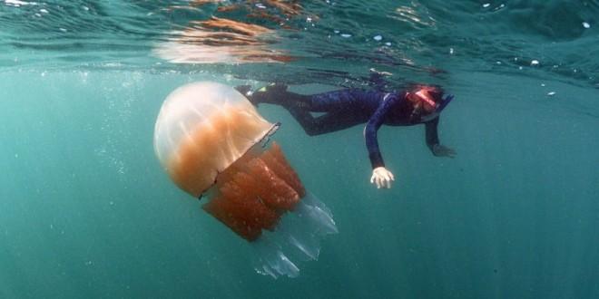 Méduses géantes sur une plage anglaise