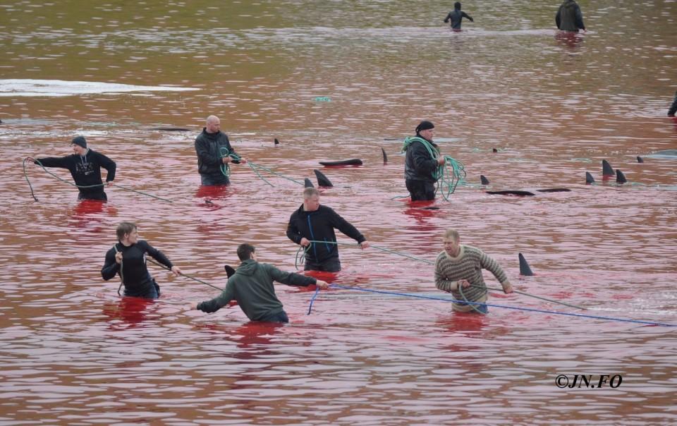 Dauphins massacrés au large des îles Feroe
