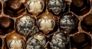Naissanc ed 'une abeille en timelapse