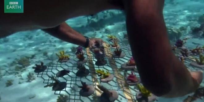Pépinière à coraux