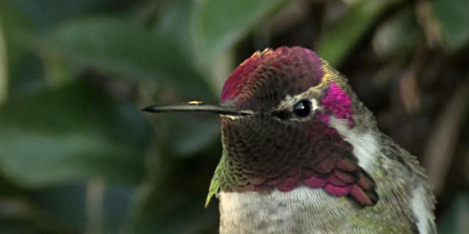 plumage-colibri-anna